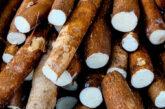 Cassava/Imyumbati Price: 450 Rwf/Kg Delivery Fees: 1000 Rwf